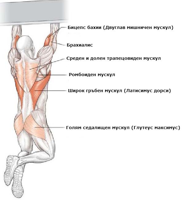Кои мускули вземат участие при набиране с подхват (бицепс)